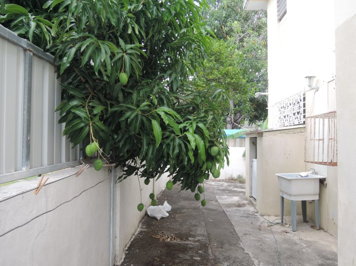 Neighbor's mango tree coming into our back yard...we're not complaining.